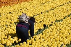 Selfie... (cklx) Tags: red holland yellow spring tulips may tulip april brightcolors tulpen noordwijkerhout tulp lisse 2016 bollenstreek hillegom