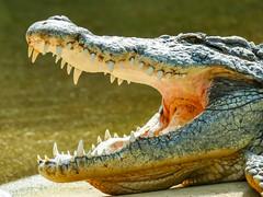 Krokodil smile (aj.lindeboom) Tags: dieren bestpictures amfibieenreptielenenslangen