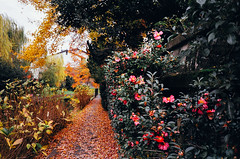 (yasu19_67) Tags: red flower film japan analog 35mm alley nikon kyoto riverside fujifilm expiredfilm photooftheday autumntint filmphotography xtra400 nikonl35ad2 filmism