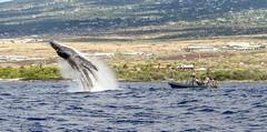 Whale Watching (Wild Hawaii Ocean Adventures (WHOA)) Tags: whoa ourboat 2015 konacoast humbackwhale wildhawaiianoceanadventures 2016whaleseason
