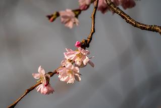 Kirschblüte 23. Dezember 2015