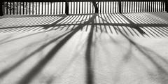 Shadow of a Fence and Tree (fotographis) Tags: shadow blackandwhite snow tree lines yard fence blackwhite fuji shadows nikkor largeformat lightanddark wideaspect acros xtol wideformat plustek wideaspectratio 75mmnikkor handbuiltcamera opticfilm120