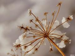 """Etoiles des neiges"".....! (Elyane11) Tags: neige saariysqualitypicturesgallery"