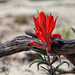 Indian Paintbrush - La Lena Mesa