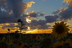 Sonnenblumen Untergang (Fooß) Tags: abend natur pflanze feld himmel wolke blume windrad sonne sonnenblume