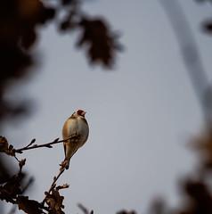 Chardonneret lgant (penelope64) Tags: nature animal oiseau 2015 chardonneret