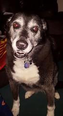 D is for Dog (cjacobs53) Tags: dog fun collie border bella alphabet jacobs bordercollie february bela hunt scavenger jacobsusa