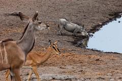 Warzenschwein (Phacochoerus africanus) am Wasserloch - Etosha-Nationalpark, Namibia (Nov. 2015) (anschieber | niadahoam.de) Tags: namibia 2015 etoshanationalpark vlakvark commonwarthog afrikaafrica 201511 warzenschweinphacochoerusafricanus namibia2015 20151112 etoshawarzenschwein