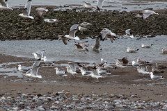 Sea Gulls (NTG's pictures) Tags: sea shells cormorants bay harbour gulls pebbles bae rhyl oystercatchers kinmel cinmel