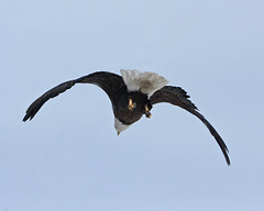 Bald Eagle 8009 (frank.kocsis1) Tags: colorado adult baldeagle adamscounty coloradowildlife frankkocsis seealbumformorephotos