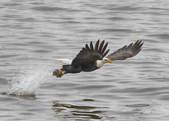 Adult Bald Eagle Fishing (AmyBaker0902) Tags: river mississippi eagle lock dam contemporary 14 bald sigma iowa leclaire 150600