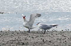 Caspian Tern  Hydroprogne caspia, (mpp26) Tags: flying bill feeding young juvenile stout caspiantern bloodred blacktipped hydroprognecaspia