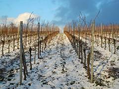 Winter Vineyard (almresi1) Tags: schnee winter snow vineyards weinberge weinstadt strümpfelbach