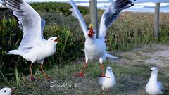 _DSC5528 (dawnbordin) Tags: sea hot bird beach birds head seagull gulls flock flight cheeky chips hungry lennox