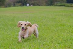 IMG_3113 (yukichinoko) Tags: dog dachshund 犬 kinako ダックスフント ダックスフンド きなこ