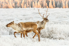 Hey, pretty lady! (frostnip907) Tags: winter white snow alaska landscape reindeer gold frost hoarfrost wildlife antlers wilderness caribou herd tundra alpenglow taiga canon7d tamron150600mmf563spdivcusd