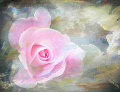 In the clouds (boeckli) Tags: clouds flowers roses texture pink rosa rose rosen birgittasjöstedt plants pflanzen outdoor textur itsallaboutflowers colour colours colors farbig bunt exploreworthy flora fleur blume nature garden colorful colourful awardtree textures texturen