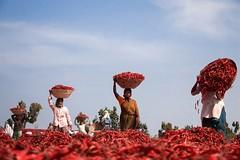 The Chili Farmers (Shashanka Nanda) Tags: people india pepper chili colours farmers maharashtra vidarbha