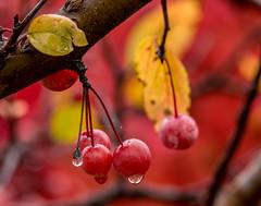 Autumn Dew Berries (1 of 1) (allenahner photography) Tags: bridge autumn fall water fog rocks stream berries stlouis artmuseum bandstand forestpark worldsfair arthill