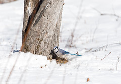 quabbinwinter2016-423 (gtxjimmy) Tags: blue winter bird nikon jay massachusetts newengland reservoir quabbin tamron songbird quabbinreservoir d600 watersupply nikond600 150600mm