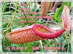 Gnade um Gnade / grace upon grace (Martin Volpert) Tags: flower fleur jesus flor pflanze bible blomma christianity blume fiore blte bibel blomster virg christus lore biblia bloem blm iek floro kwiat flos ciuri bijbel kvet kukka cvijet nepenthaceae flouer glauben christentum blth cvet zieds flle is floare  blome iedas bibelverskarte mavo43 john116 graceupongrace johannes116 kannenpflanzengewchse gnadeumgnade nepenthesneufvilliana