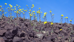 Flowers Among the Rocks (Joel Quimpo) Tags: deathvalley wildflowers blooms