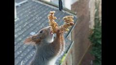 """wieder ein Tag voller Freude mit den Eichhörnchen vor dem Fenster (flixx-ak) Tags: germany deutschland squirrel clip eichhörnchen 2016 flixxakoffenbachammainhessen """"anvormeinemfenster"""""""