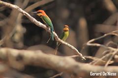 Chestnut-headed Bee-eater (Gerard De'Niese) Tags: birds birdsinindia chestnutheadedbeeeater