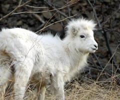 Juvenile Dall Sheep (J.P. EVERETT) Tags: alaska sheep dall dalli ovis