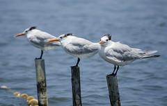 Triki (victor mendivil) Tags: costa peru mar nikon aves pájaros animales nikkor ica pisco paracas reservanacionaldeparacas thalasseusmaximus ltytr2 ltytr1 55200mmf456vr d7000 charránreal aveacuática victormendivil gaviotinesreales