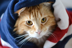 Patrick (moreefox) Tags: uk cats pets cat maine patrick blanket coon mainecoon cateyes funnycat patrickthemainecoon