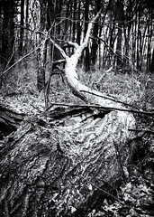 Entropy (lclower19) Tags: bw white black tree texture entropy decay fallen photochallenge promptaddicts