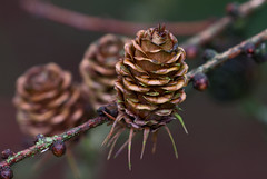 A beauty (herman hengelo) Tags: winter nederland arboretum larch delutte lariks