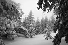 in the wild. (bw) (jrseikaly) Tags: trees winter lebanon white snow monochrome forest canon jack photography outdoor cedar 7d arz cedars seikaly jrseikaly