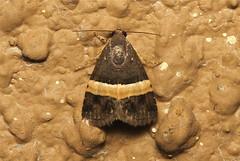 Ozarba abscissa - South Africa (Nick Dean1) Tags: insect southafrica moth insects lepidoptera arthropods animalia arthropoda krugernationalpark arthropod hexapod olifants insecta hexapods hexapoda ozarba ozarbaabscissa