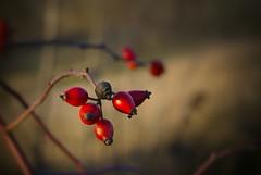 Small shiny heads (GP Camera) Tags: winter colors lightandshadows berries bokeh branches depthoffield vignetting inverno bacche colori rami monferrato lucieombre allaperto profonditdicampo nikonaf50mmf18d nikond80
