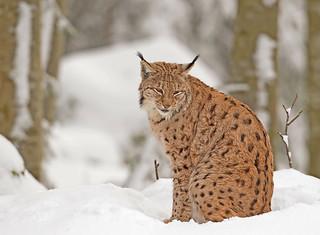 Eurasian Lynx: Lynx linx (Explored)