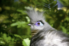 Crested Coua Portrait (C. P. Ewing) Tags: bird nature birds animal eyes colorful outdoor crested avian coua flickrsportal