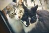 Love is.. (Stella_Kar) Tags: cats pets cute glass animals posing kittens greeneyes cuteness cateyes filmstock beautifulcats catshugging