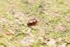 Corylophidae. Minute fungus beetle. 1mm. (David Ball.) Tags: singapore canon270ex corylophidae