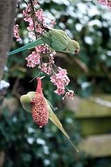 Immigrants (Boudewijn Vermeulen) Tags: winter vogels thuis monnickendam parkieten papegaaien
