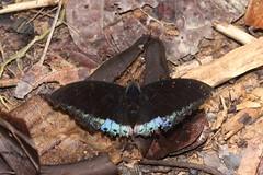 Archduke sp (moloch05) Tags: malaysia taman negara
