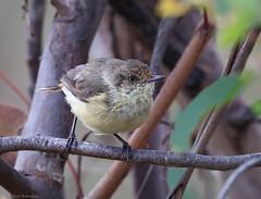 Buff-rumped Thornbill (aaardvaark) Tags: australia canberra act cnp callumbrae acanthizareguloides buffrumpedthornbill 201603151d2736buffrumpedthornbill17x13