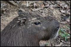 Cabia (ou le Seigneur des herbes) (gillyan9) Tags: animal carpincho capybara capivara mammifre capibara lapa seigneur capiguara chigiro cabia rosonco