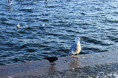 (Jelena1) Tags: winter sea mer bird water animal canon mar vinter agua eau meer wasser sweden stockholm seagull gull hiver schweden aves more invierno sverige vögel stokholm zima vatten oiseau möwen estocolmo voda suecia seabird hav suède fågel laridae ptica galeb svedska avemarina láridos meeresvogel laridés oiseaudemer canonefs1855mmf3556is canon600d måsfåglar havsfåglar canoneos600d морскиептицы ча́йковые