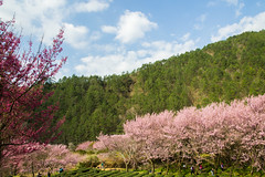 20160306-DSC_6091 (Kay's...) Tags: cherryblossom sakura   wuling wulingfarm