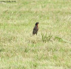 Red-breasted Blackbird - Piarco, Trinidad, Trinidad & Tobago - 03/09/2016 (kdxshiryu) Tags: nature birds blackbird redbreasted meadowlark