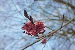 elm flowers / iepenbloesem (Michiel Thomas) Tags: bloemen olm iep vruchten zaden iepenbloesem iepen iepenbloei