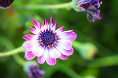 The Art of Im(perfection) XXI -African Daisy (saeah_lee) Tags: california flowers usa macro nature outside us unitedstates outdoor palmsprings daisy coronado africandaisy imperfection osteospermum canon100mm theartofimperfection