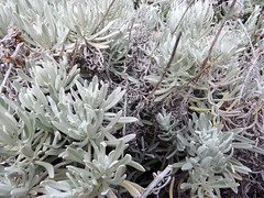 Maltese Everlasting (AmikLanfranco) Tags: cliff white plant green nature beautiful up leaves composite silver bush shiny close natural outdoor many branches species fieldwork maltese biology endemic narrow abundance rare asteraceae gozo clifftop everlasting dwejra helichrysum gawdex melitense